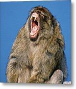 Barbary Macaque Macaca Sylvanus Yawning Metal Print