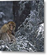 Barbary Macaque Male With Infant Metal Print