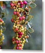 Barberry (berberis Sp.) Metal Print