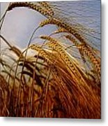 Barley, Co Meath, Ireland Metal Print