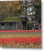 Barn Surrounded By Tulips Metal Print