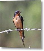 Barn Swallow - Looking Good Metal Print