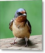 Barn Swallow Metal Print by Angie Vogel