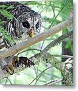 Barred Owl With Crawfish Metal Print
