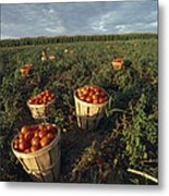 Baskets Of Fresh Tomatoes In A Field Metal Print
