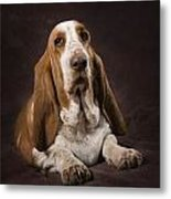 Basset Hound On A Brown Muslin Backdrop Metal Print