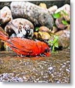 Bathing Cardinal Metal Print