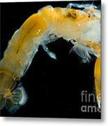 Bay Ghost Shrimp Metal Print
