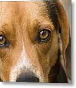 Beagle Hound Dog Eyes Of Love Metal Print