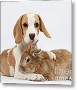 Beagle Pup And Rabbit Metal Print