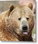 Bear Rasberry Metal Print