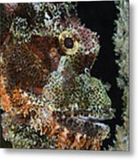 Bearded Scorpionfish, Indonesia Metal Print