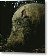 Bearded Swine Sus Barbatus Metal Print