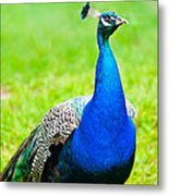 Beautiful And Pride Peacock On A Lawn Metal Print