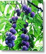 Beautiful Blue Plums On The Tree Metal Print