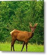 Beautiful Bull Elk In Velvet Metal Print
