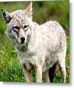 Beautiful Coyote In Alaska Metal Print
