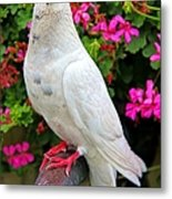Beautiful White Pigeon Metal Print