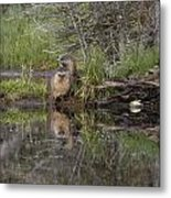 Beaver Pair Metal Print by Charles Warren