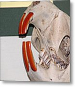 Beaver Teeth Metal Print