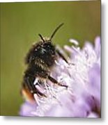 Bee In Pollen Metal Print
