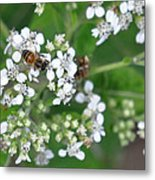 Bee Of The White Flower Metal Print