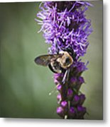 Bee On Gayfeather Squared 1 Metal Print