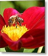 Bee On Red Dahlia Metal Print