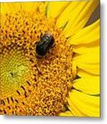 Bee On Sunflower Metal Print