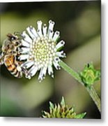 Bee On White Clover Metal Print