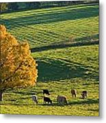 Beef Cattle Grazing In Autumn, North Metal Print