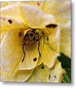 Beetle In Yellow Flower Metal Print
