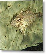 Beige Juvenile Filefish Hiding Metal Print