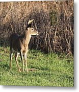 Being Aware - Deer Metal Print
