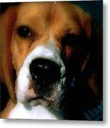 Bella The Beagle Metal Print