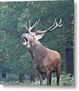 Bellowing Red Deer Stag Metal Print
