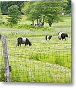 Belted Galloway Cows On  Farm Rockport Maine Photo Metal Print