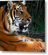 Bengal Tiger - Teeth Metal Print