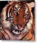 Bengal Tiger In Thought Metal Print