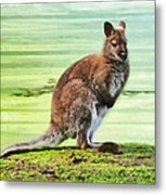 Bennets Wallaby  Metal Print