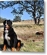 Bernese Mountain Dog In California Chaparral Metal Print