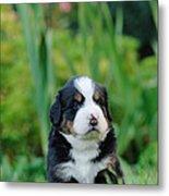 Bernese Mountain Dog Puppy Portrait Metal Print