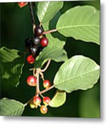 Berry Stages Metal Print