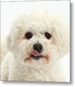 Bichon Frise With Tongue Out Metal Print