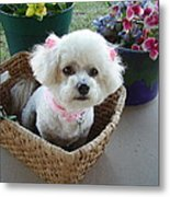 Bichon In A Basket Metal Print