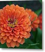 Big Bold Zinnia Flower Metal Print