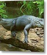 Big Gator On A Log Metal Print