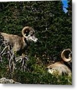 Big Horn Sheep Glacier National Park Metal Print