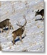 Big Mule Deer Buck Metal Print
