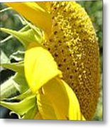 Big Yellow Sunflower Metal Print